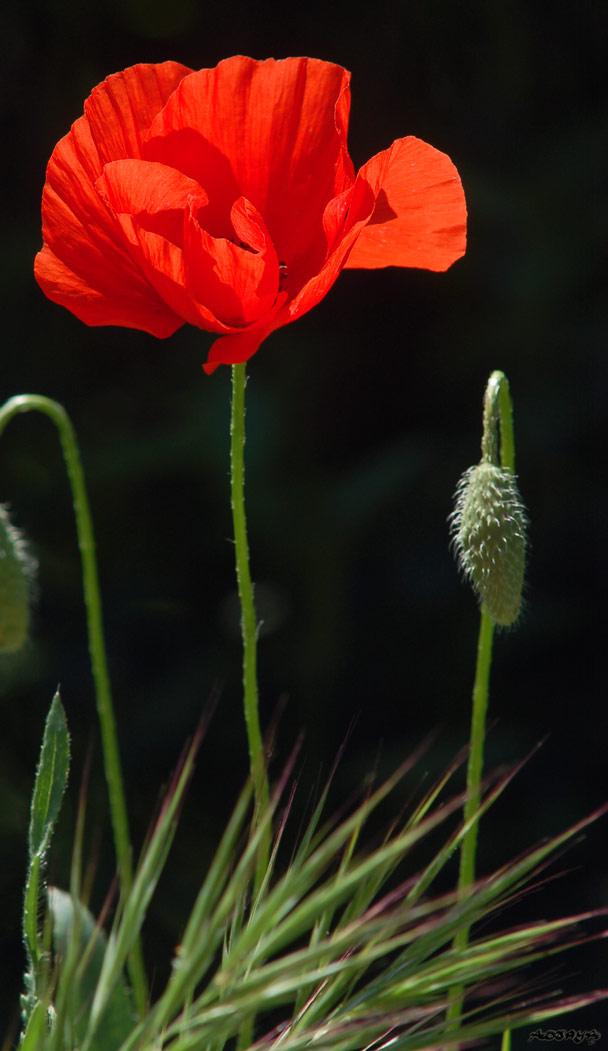 Fleur-coquelicot_2046